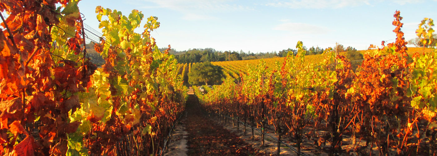 Meredith Estate Vineyard in autumn