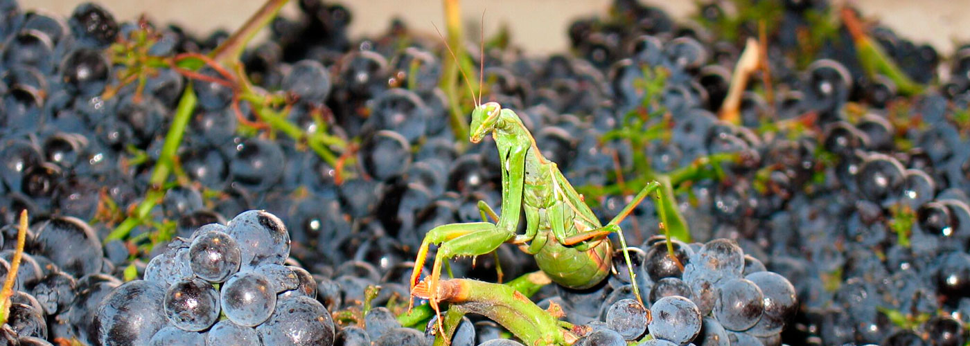 Praying mantis in bin of Pinot Noir grapes