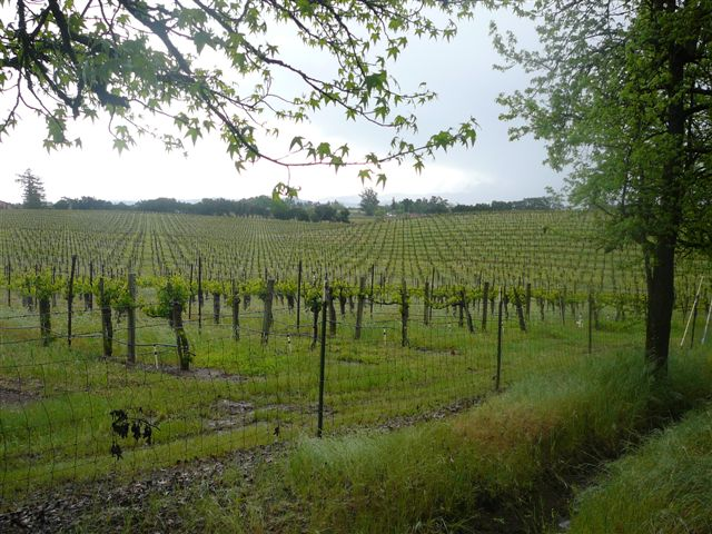 Olivet Lane Vineyard